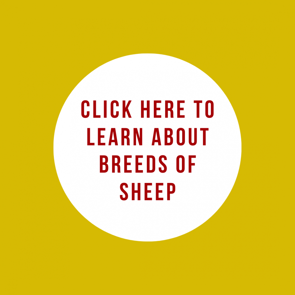 Click here to learn about breeds of sheep
