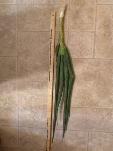 Long green onion next to a ruler