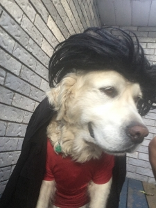 Dog wearing a shirt and a wig